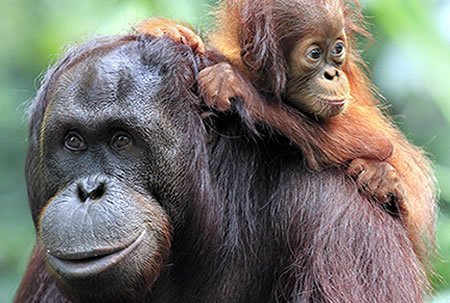 An Orangutan family