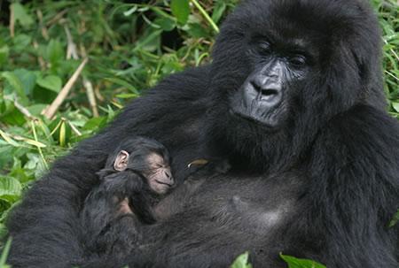 Adopt a Mountain Gorilla
