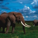 Everything You Ever Wanted To Know About The Elephant