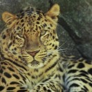 Tiger Conservation Forcing Leopards Into Conflict With Humans