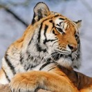 Amur Tiger Numbers Starting To Recover In China