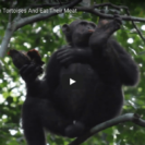 VideoOfChimpanzees Engaging In Previously Unseen Behavior