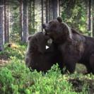 Amazing Bear Fight CaughtOnVideo