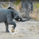Cute Elephant Calf Loves A Spot Of Football