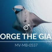 Adopt a Manta - George the Giant